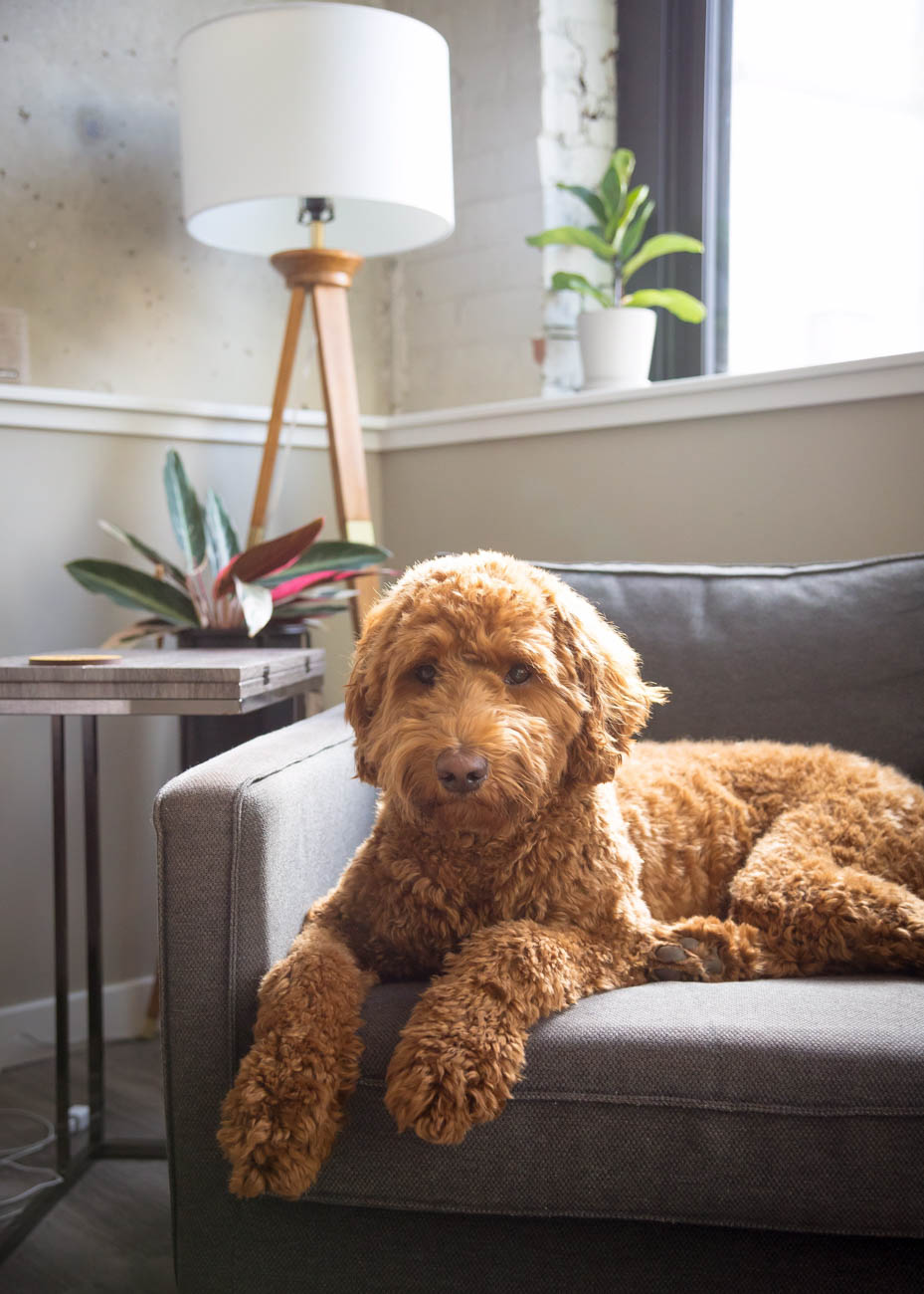 Meet Myrtle—an Australian Labradoodle whose life revolves around playing fetch, stealing socks,{ }and comfortable city-livin'. / Image courtesy of Instagram user @cincymyrtle // Published: 11.28.18