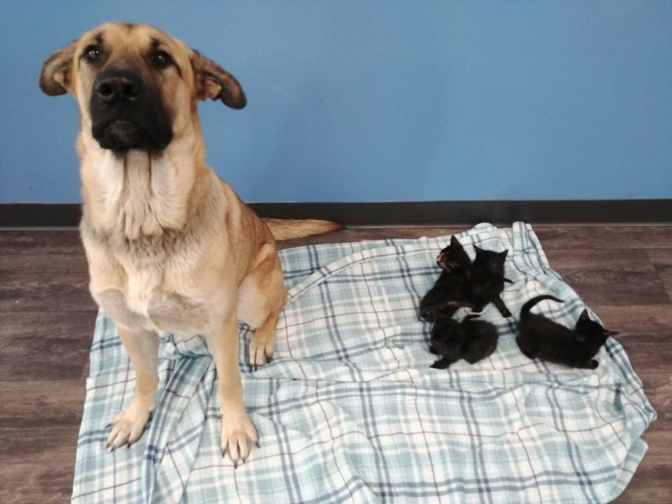 Dog found on side of road keeping 5 kittens warm. (Photo used with permission from: Pet and Wildlife Rescue.)