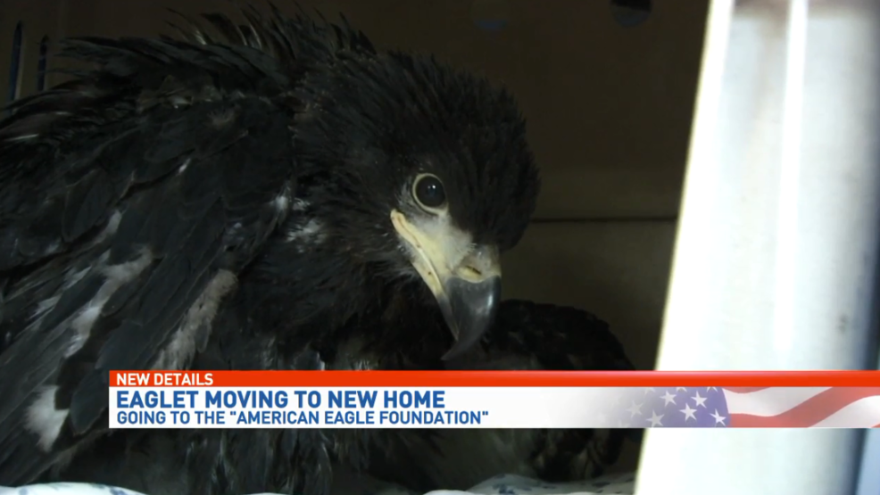 Pensacola eaglet will soon be going to new home at American Eagle ...