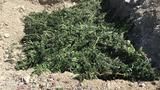Drug raid nets 2,300 pot plants in north-central Nevada