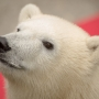 When Nora met Tasul: Polar bear cub meets elder at Oregon Zoo for first time