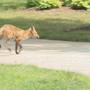 Bexley residents on high alert after fox sightings reported