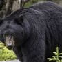Black bear sighted in Southeast Iowa