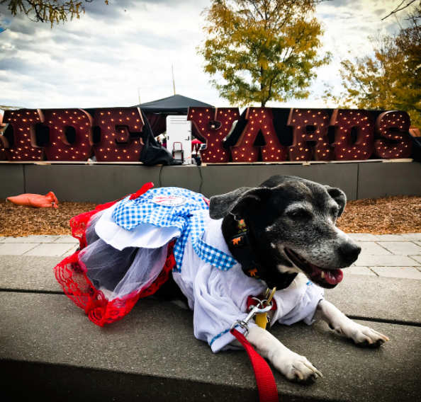 IMAGE: IG user @baileyremixmix / POST:{ }Happy #Sunday fruends!!! Ma weekend was a little crazy but extremely rewarding, got to dress up as Dorothy (again) from #thewizzardofoz walk around @theyardsdc and visit my new favorite groomer @gothamgroomer meet @gothamglizzy @izzytherescuepuppy HOW AMAZING!!! Also, I let my mommy go visit other doggies @humanerescue and participate with @wethedogsdc in the #HOPEprogram event on #Saturday I really love this city and all the pawsome people who make up #dcdogfriendly hope to see you soon everypawdy!!!