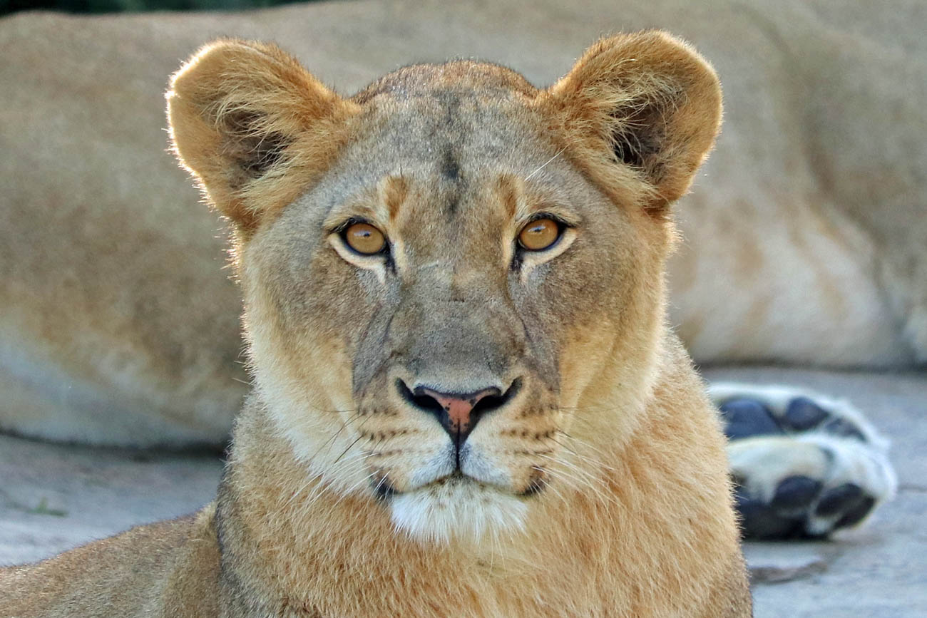 A lioness named Imani at the Cincinnati Zoo & Botanical Garden / Image: Larry Thomas // Published: 1.16.19