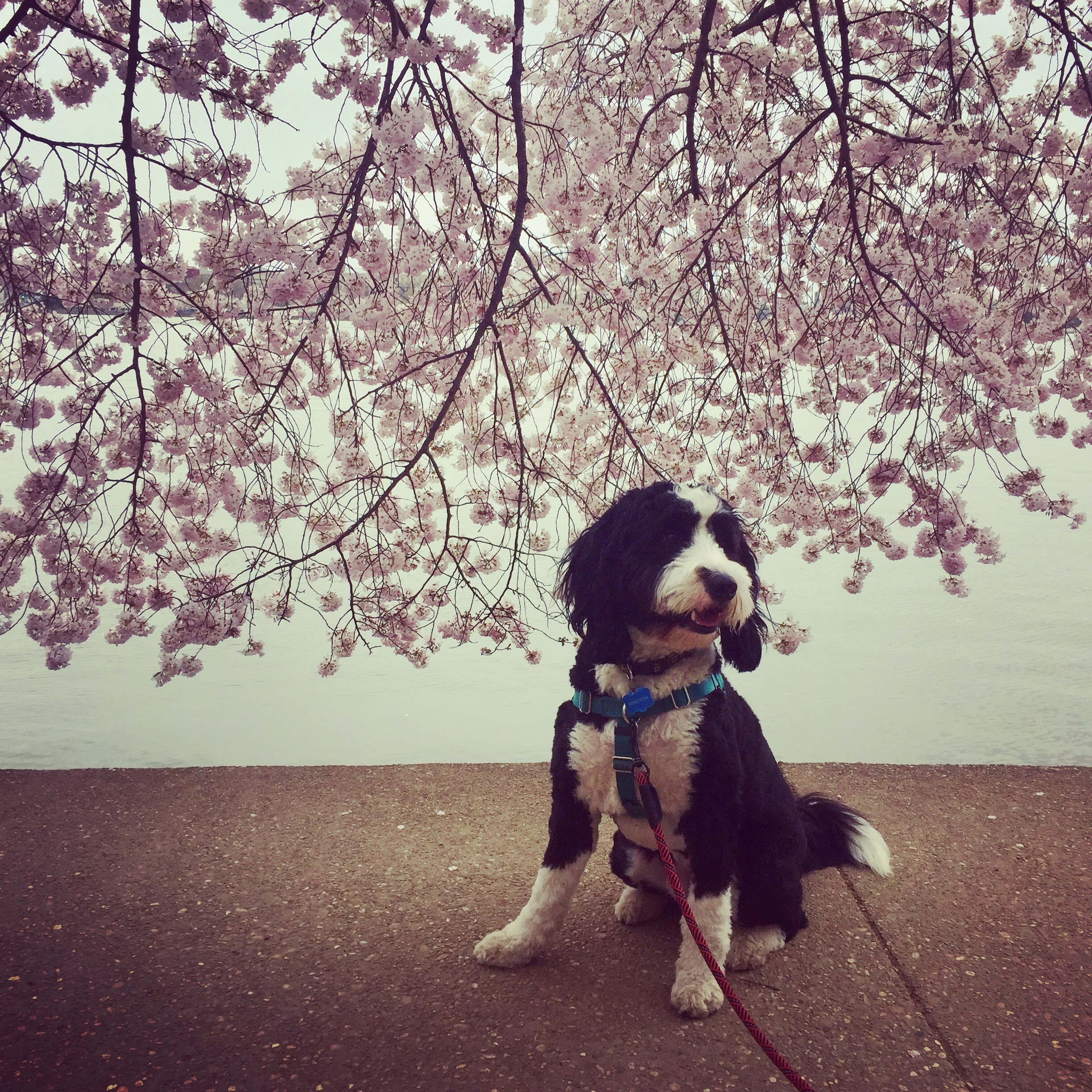 In honor of National Pet Day (which is basically like Christmas around here!) we checked in on a few of our favorite Instagram stars to see what they've been up to lately, and we noticed many of them had paid a visit to D.C.'s beloved blossoms. So for this week's special RUFFined Spotlight, we give you some adorable four-legged admirers of the cherry blossoms! (Image: via IG user @winstononwilson /{ }instagram.com/winstononwilson/){ }