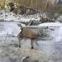 Frozen fox extracted from upper reaches of Danube in Germany