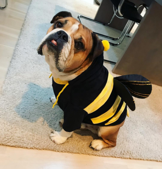IMAGE: IG user @paddyinthecity / POST:{&amp;nbsp;}If the question is trick or treat, always pick treat. #bulldoggerylessons. Happy Halloween to the #poodlepantsposse. Costume by @uauhdogs!{&amp;nbsp;}<p></p>