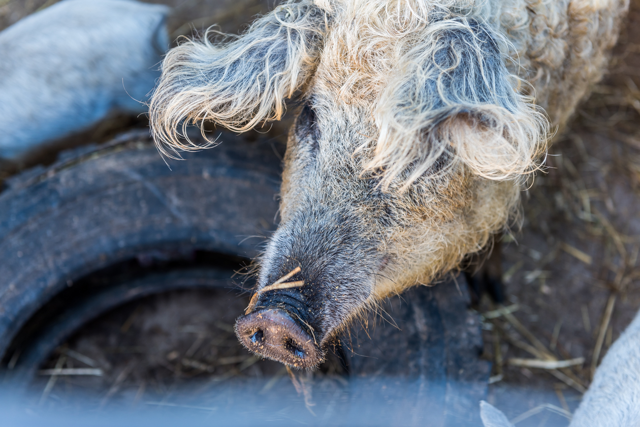 <p>These wooly pigs are known as Mangalitsa pigs. The breed originally comes from Hungary and is currently the only type of pig to flaunt sheep-like coats. The farm is also home to horses and sheep. / Image: Mike Menke // Published: 6.13.19</p>