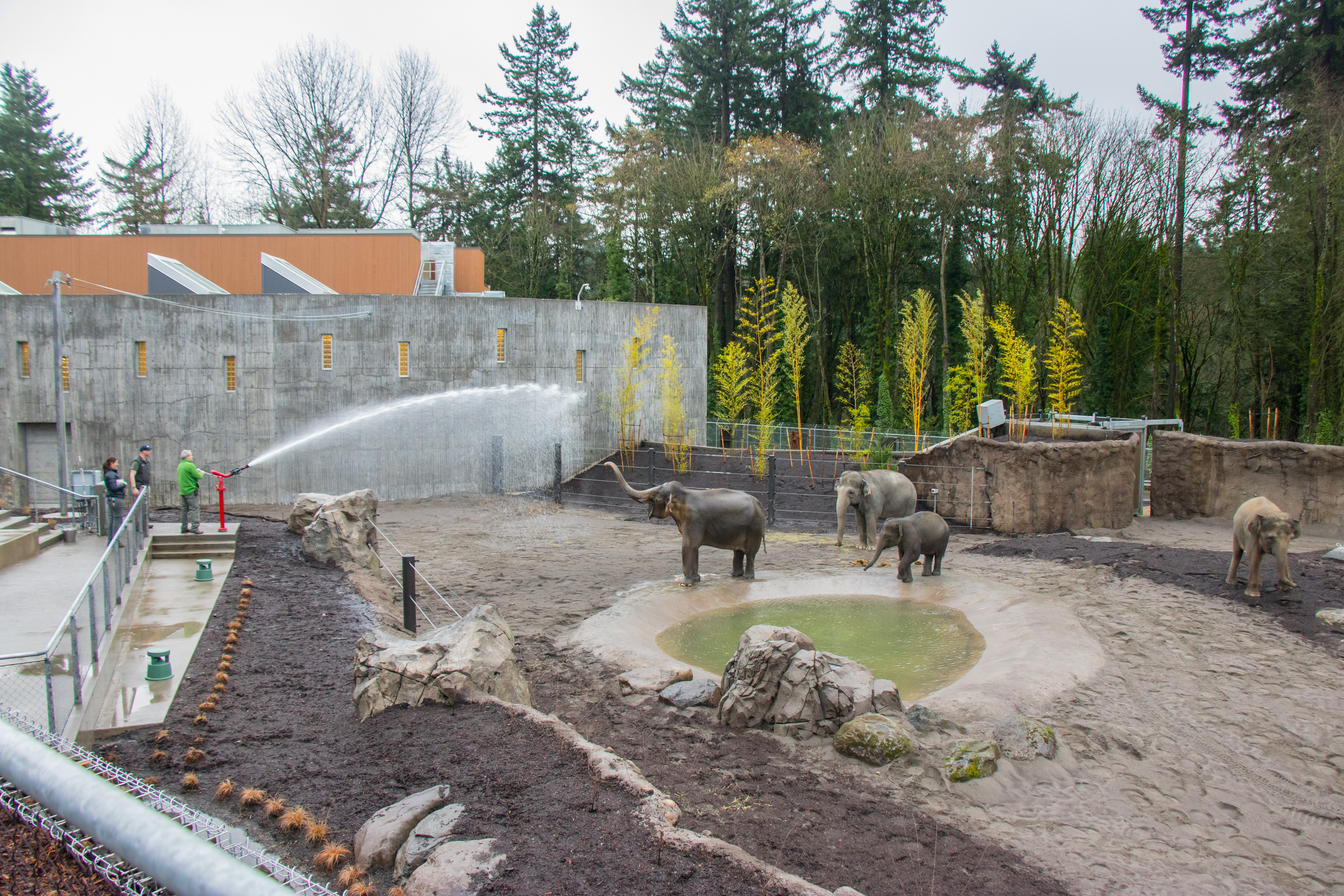 Asian elephants exploring the South Habitat of Elephant Lands. �© Oregon Zoo / photo by Kathy Street.