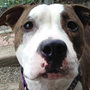 Michigan Senate: Leave the pit bulls alone