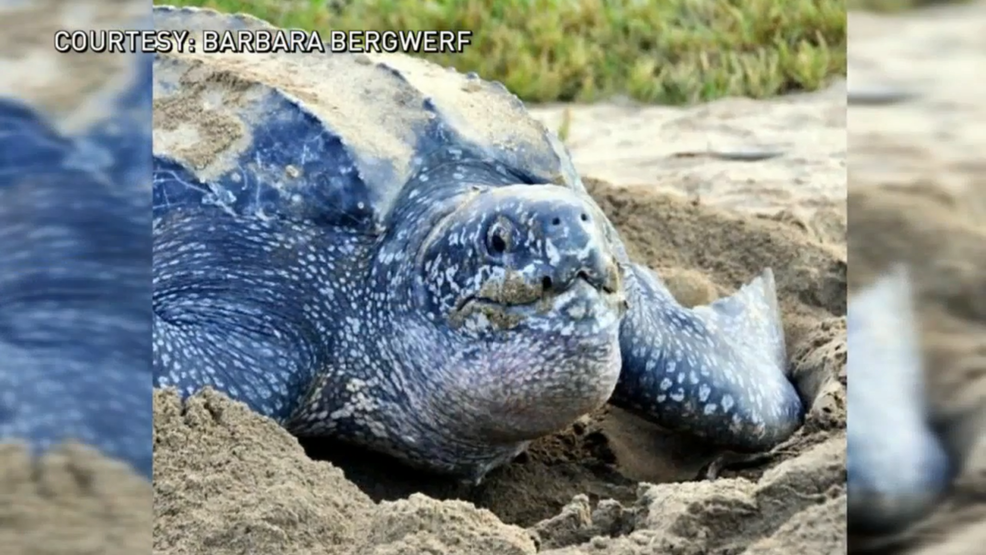 rare leatherback turtle nest discovered on isle of palms wciv