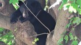 Black bear cub found in a tree in Hanover