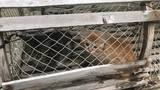 Feral kittens caught using lobster traps in need of homes
