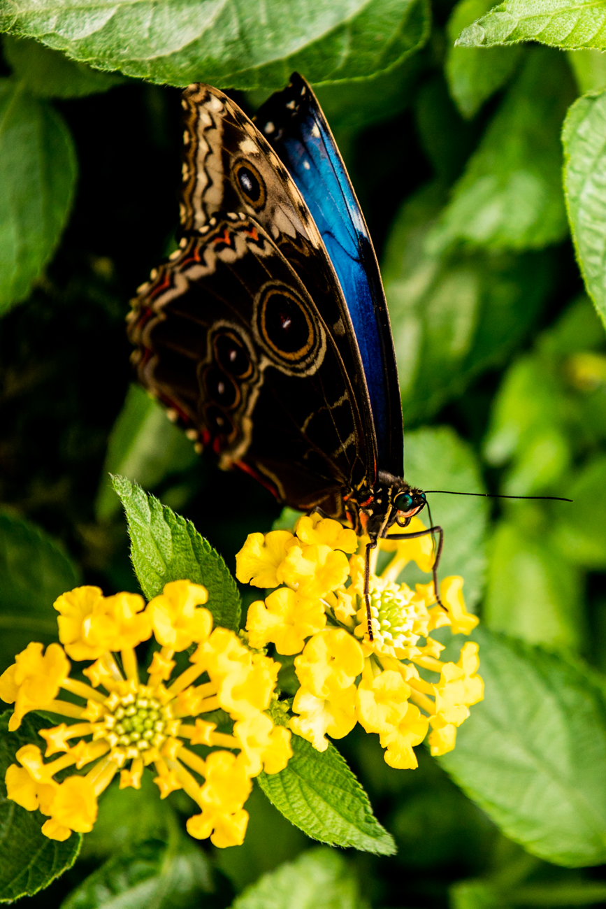 A beautiful butterfly at the Butterflies of Ecuador show at Krohn Conservatory / Image: Amy Elisabeth Spasoff