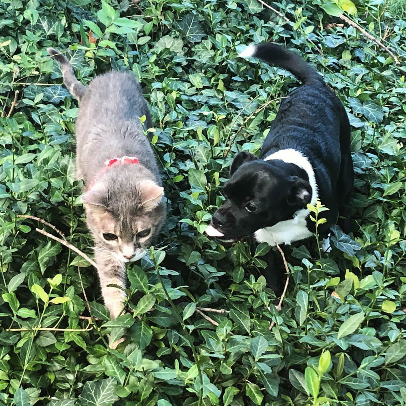 Wally is a senior rescue kitty who loves exploring outdoors with his puppy pal, Harry. / Image courtesy of Instagram user @old_man_wally // Published: 1.13.19