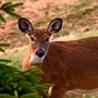State halts deer management programs; local leaders confused why