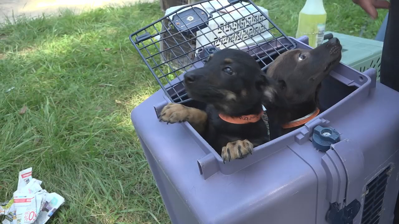 More puppies, dogs, rabbits, guinea pigs arrive from Texas, looking for new homes. (ABC7)