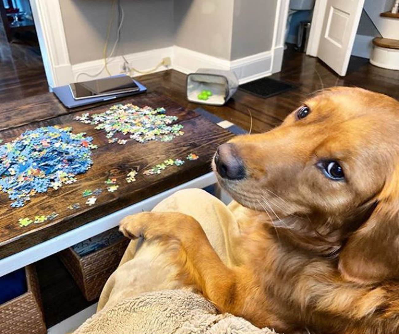 Helping with puzzles and not eating all of the pieces (just one or two) / Image courtesy of Instagram user @fluffygoldenbiscuit // Published: 4.1.20