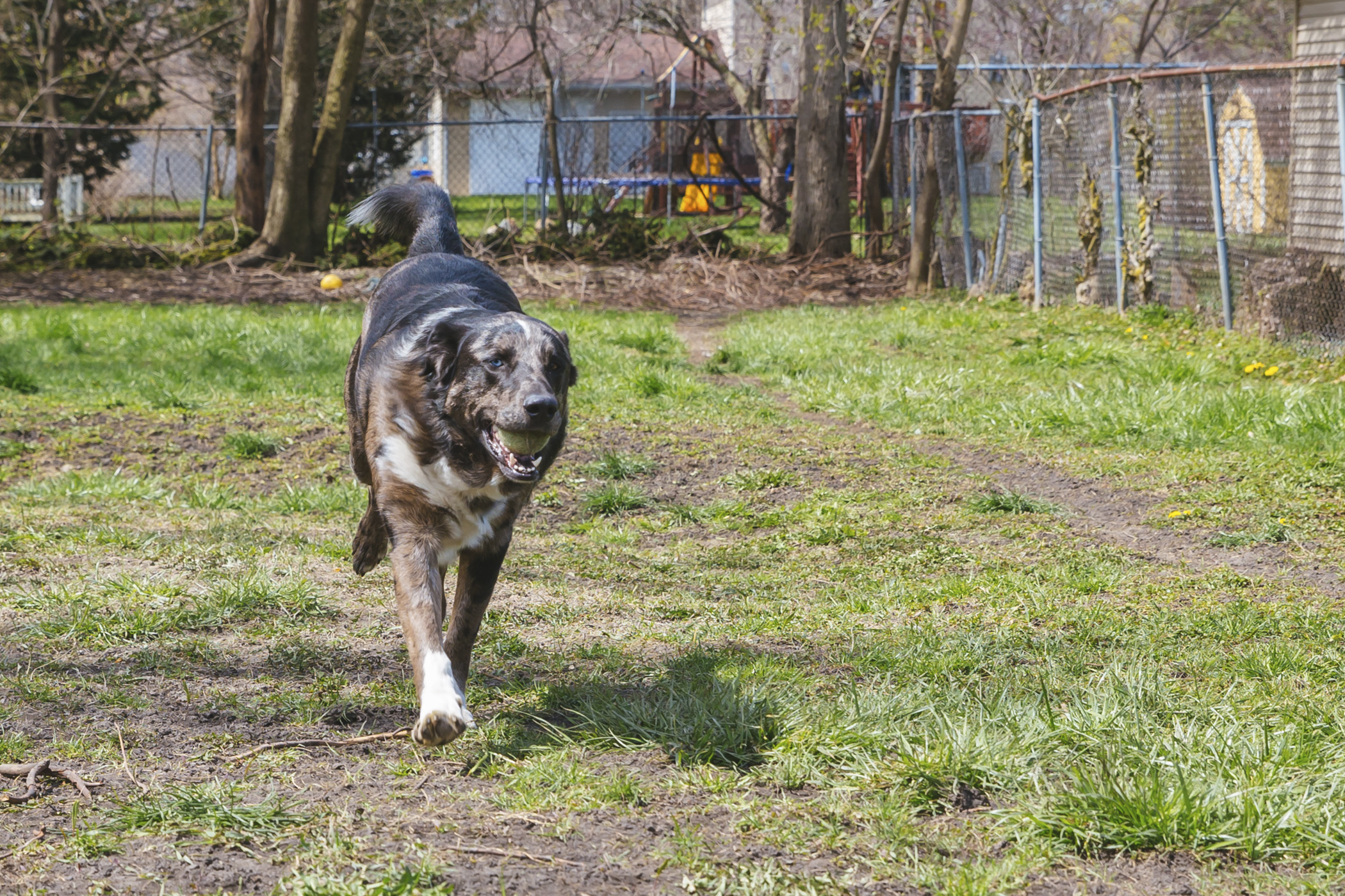 "Floyd is a 2-year-old{&nbsp;}Collie mix and rescue. He's got a pretty dopey personality but is a true gentle giant and loyal companion, according to his family. He loves booping everything and anyone with his nose, nature, snuggles and basically any activity outside. But he is not a fan of car rides or being in small spaces.{&nbsp;}<a  href=""http://seattlerefined.com/ruffined"" target=""_blank"" title=""http://seattlerefined.com/ruffined"">The RUFFined Spotlight{&nbsp;}</a>is a weekly profile of local pets living and loving life in the PNW. If you or someone you know has a pet you'd like featured, email us at{&nbsp;}<a  href=""mailto:hello@seattlerefined.com"" target=""_blank"" title=""mailto:hello@seattlerefined.com"">hello@seattlerefined.com{&nbsp;}</a>and your furbaby could be the next spotlighted! (Image: Sunita Martini / Seattle Refined)"
