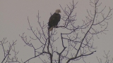 Eagle viewing, education event planned for Saturday