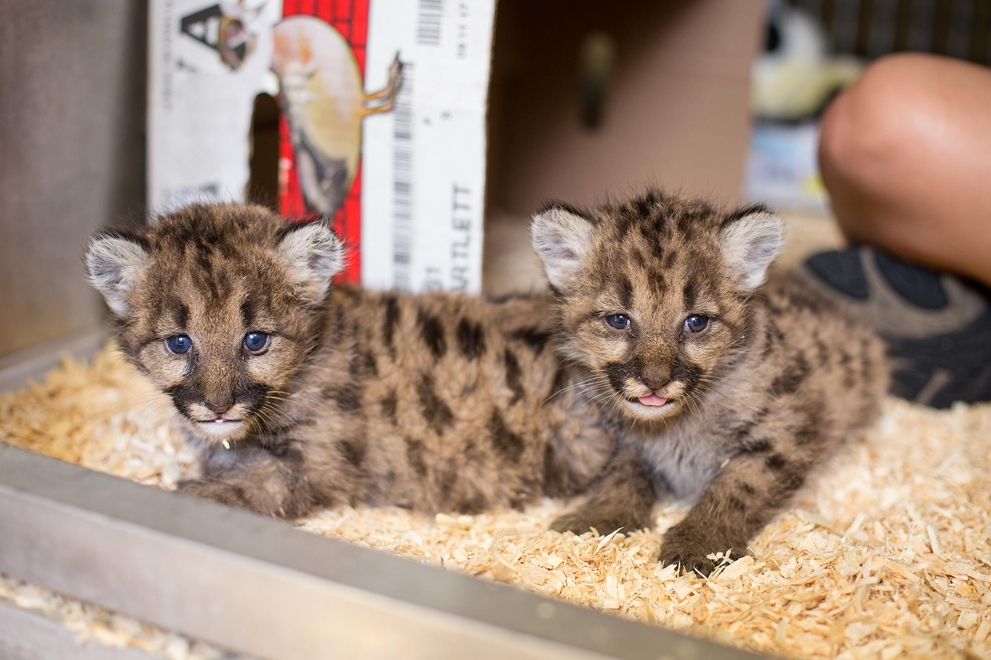 Three female cougar cubs are making a new home at the Toledo Zoo in Ohio after the Washington state Department of Fish and Wildlife reached out to find the cubs a new home after the death of their mothers. (Photo courtesy Toledo Zoo){&amp;nbsp;}{&amp;nbsp;}<p></p>