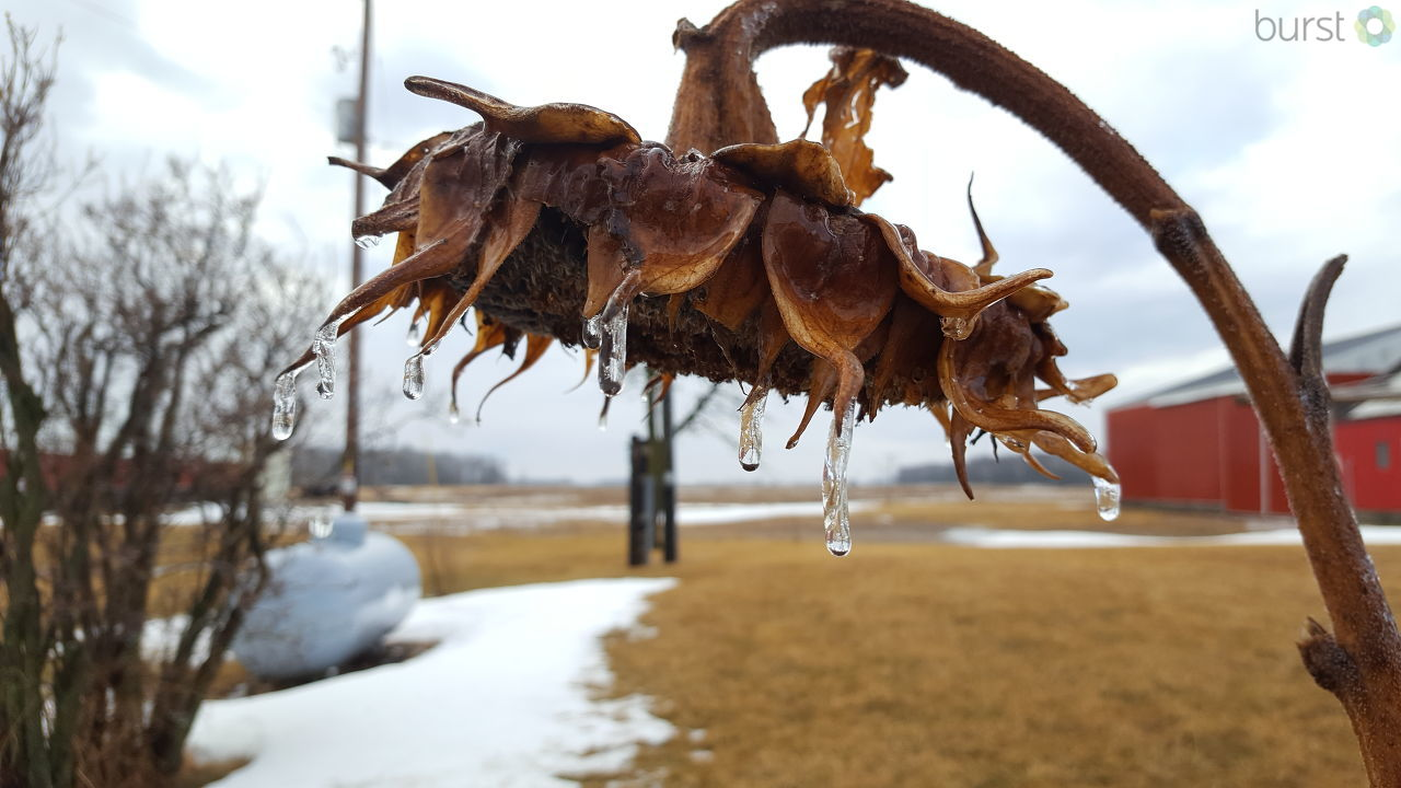 A sunflower plant is encased in ice during Winter Storm Brooks in Two Rivers, Feb. 20, 2018. (Submitted by Jena Rosinsky)