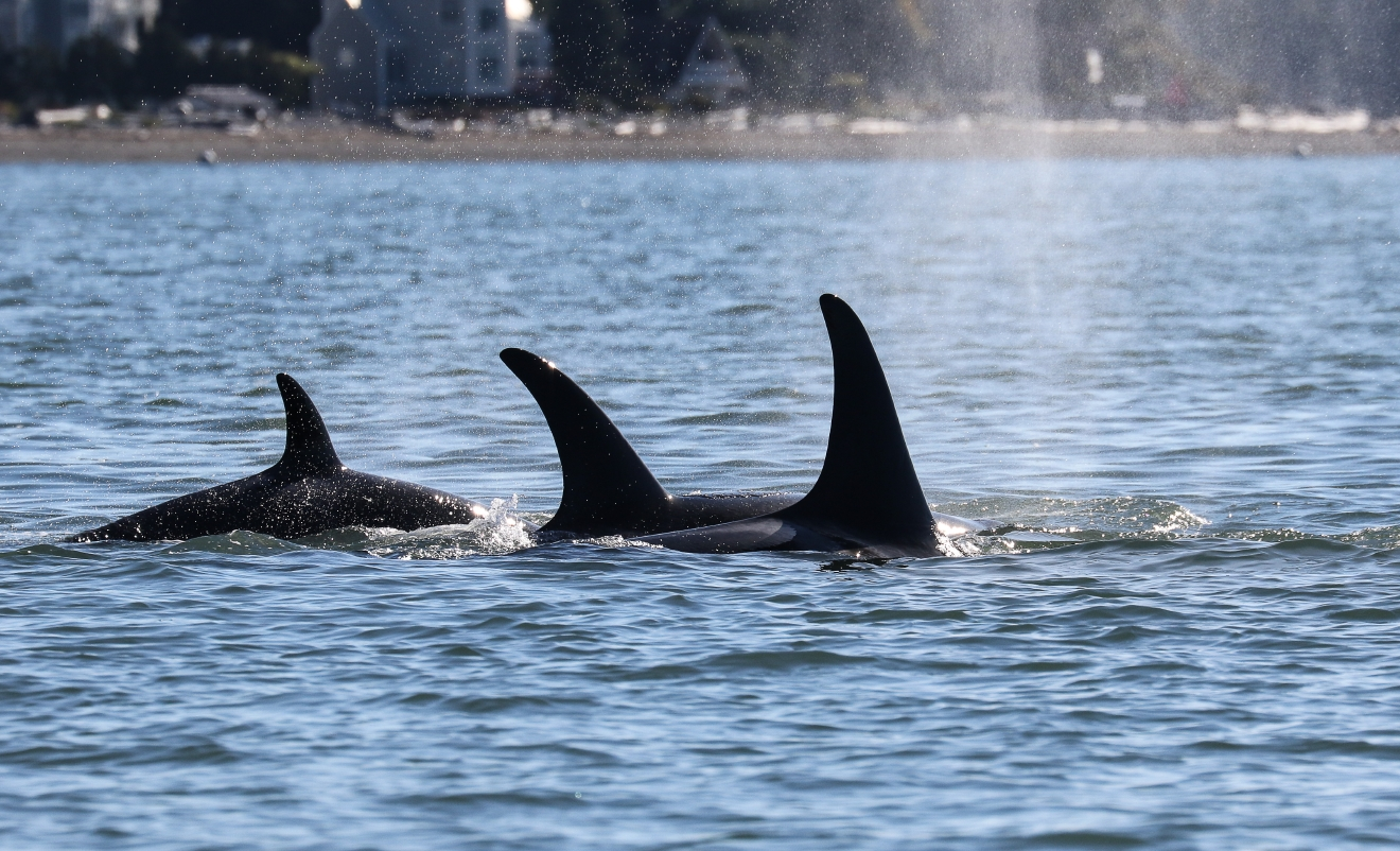 The Southern Resident Killer Whale J and K pods returned to Puget Sound in early October. (Photo: Jill Hein/Orca Network)