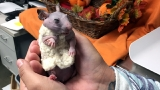 Oregon Humane Society staff makes sweater for Silky, the hairless hamster