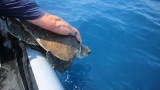 Coast Guard rescues sea turtles found tangled in fishing line
