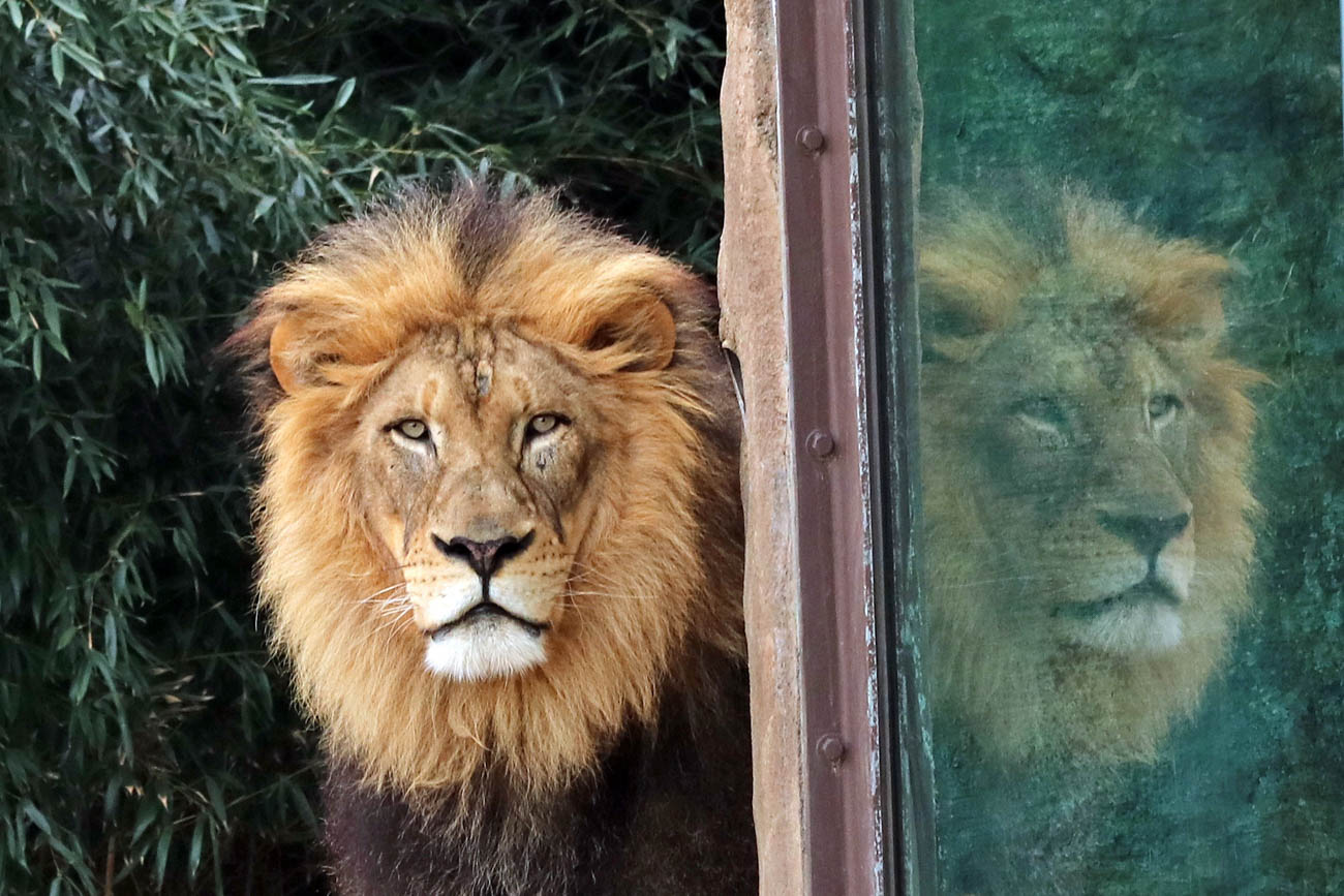John the Lion is one of Larry's favorite animals to photograph at the Cincinnati Zoo & Botanical Garden. He's taken thousands of pictures of him over the last few years. / Image: Larry Thomas // Published: 1.16.19