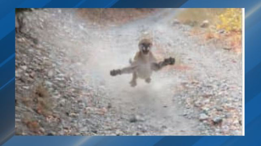 Cougar defends cub from hiker Provo UT KJZZ TV.jpg