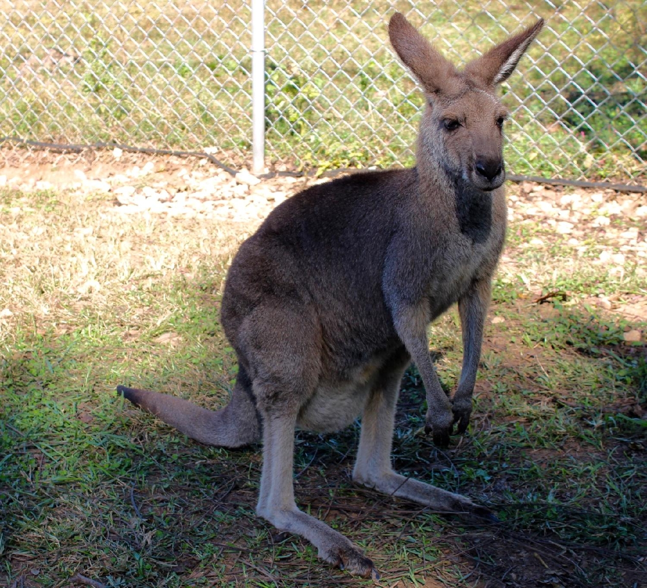 Kentucky Down Under Adventure Zoo is home to Eastern Grey Kangaroos and Red Kangaroos. You'll even have the chance to pet and feed them during your Outback Walkabout! / Image: Rose Brewington