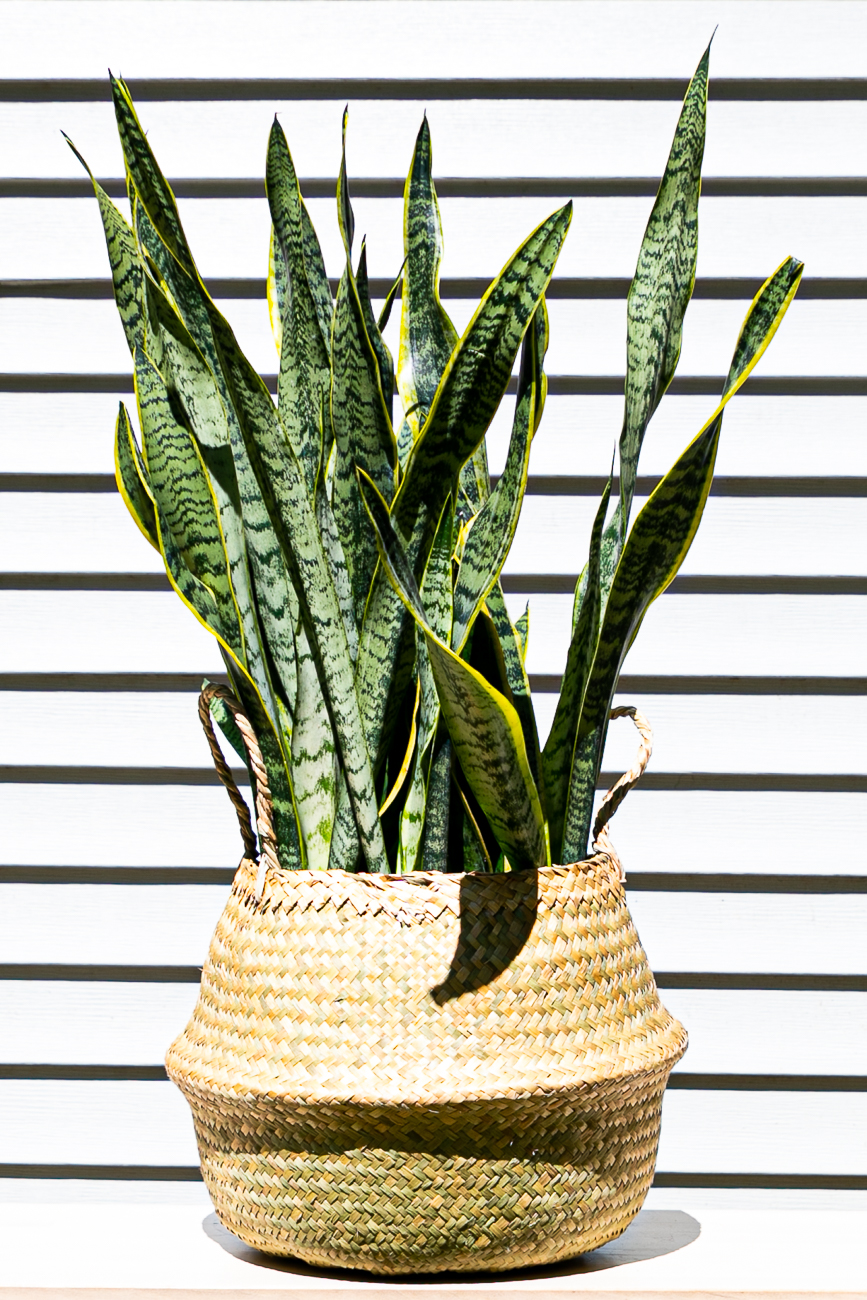 Eight-inch snake plant / Image: Amy Elisabeth Spasoff // Published:{ }7.5.20