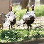 Turkey hunting in Willamette Valley: 'Getting access to hunt is difficult'