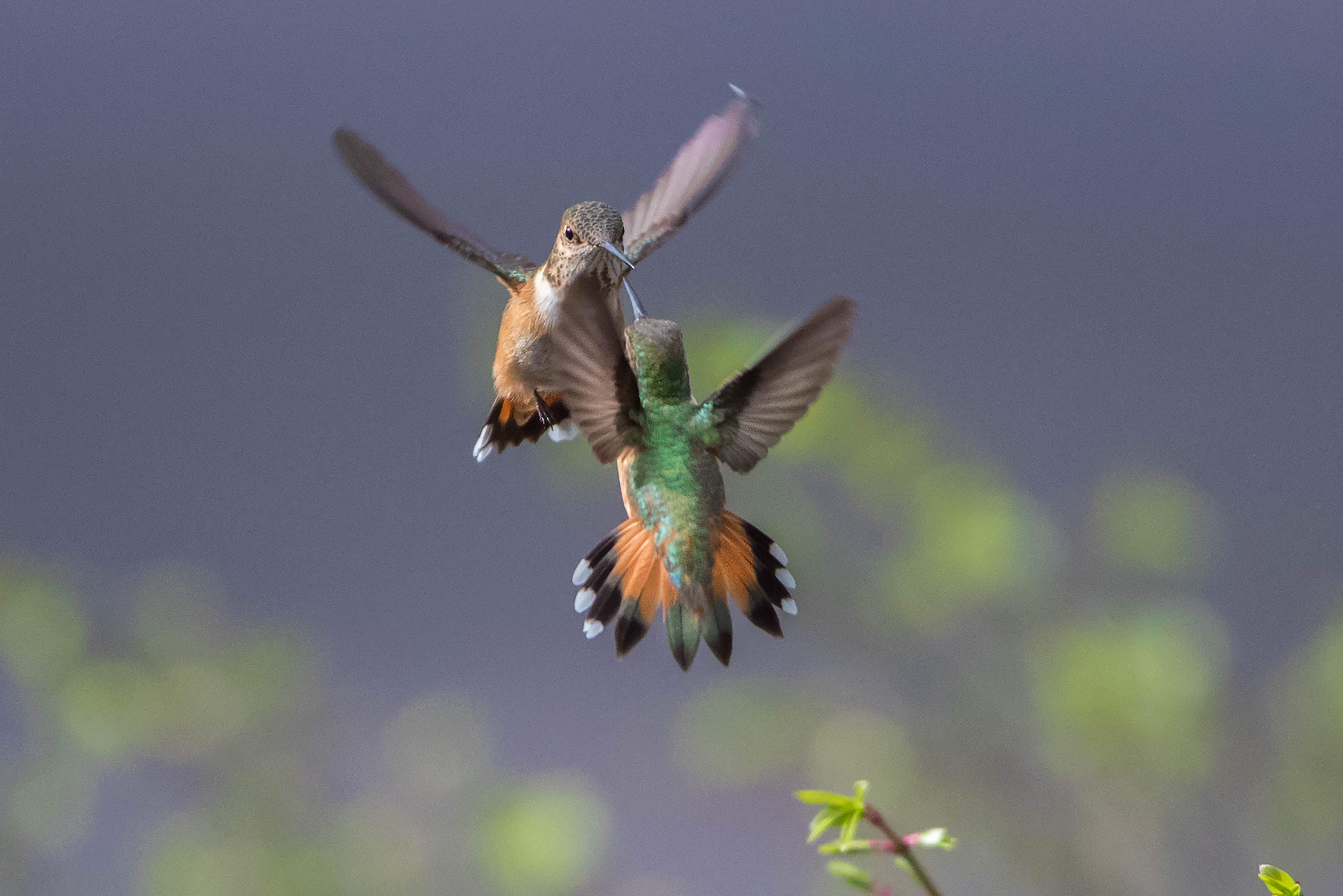 Dueling hummers, taken in Wimer - Photo by Jenny Grimm