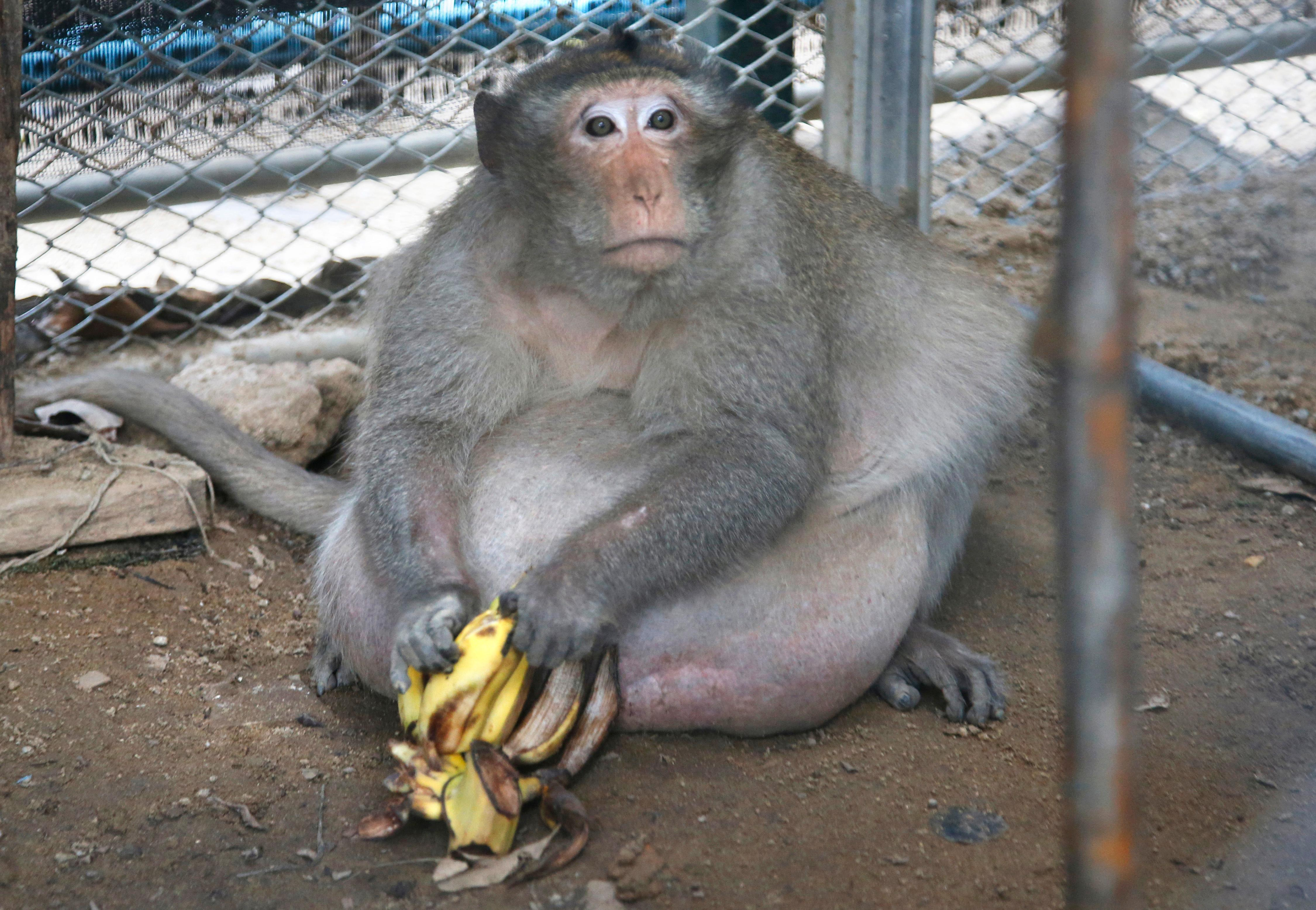 "A wild obese macaque named ""Uncle Fat,"" who was rescued from a Bangkok suburb, sits with bananas in a rehabilitation center in Bangkok, Thailand, Friday, May 19, 2017. The morbidly obese wild monkey, who gorged himself on junk food and soda from tourists, has been rescued and placed on a strict diet. (AP Photo/Sakchai Lalit)"