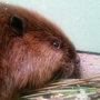 U.S. to halt killing beavers in Oregon after threat of lawsuit