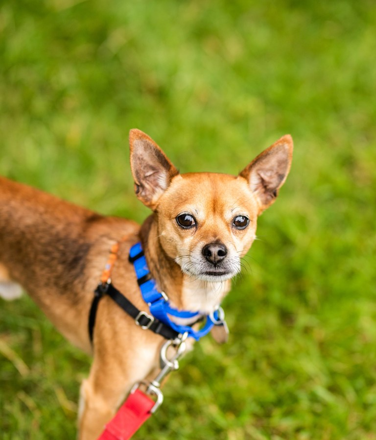 Hey there! I'm Benny, a two-year-old chihuahua, short coat mix. What I lack in size, I make up with my spunky personality. I'm always open to meeting new people and pets – so long as they're gentle with me! Come say hi today!<p></p>