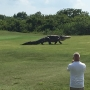 Giant alligator roams golf course in Florida