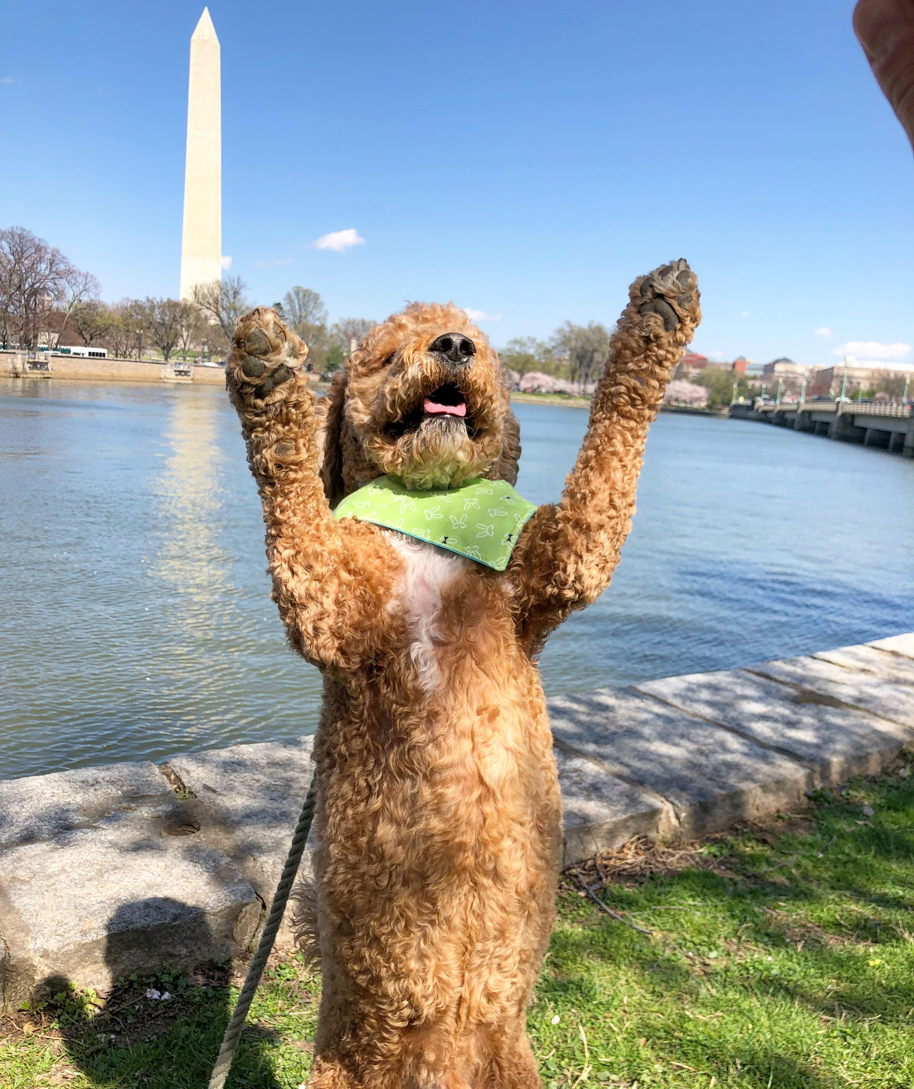 In honor of National Pet Day (which is basically like Christmas around here!) we checked in on a few of our favorite Instagram stars to see what they've been up to lately, and we noticed many of them had paid a visit to D.C.'s beloved blossoms. So for this week's special RUFFined Spotlight, we give you some adorable four-legged admirers of the cherry blossoms! (Image: via IG user @liamfitzdoodle /{ }instagram.com/liamfitzdoodle/){ }