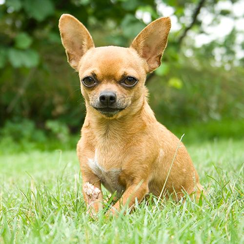 "#3. Chihuahua. This week is #NationalDogWeek and with a little help from Rover.com, ""America's Most Popular Dog Breeds of 2019"" was just released. It's the first annual report which ranks the top 20 most popular dog breeds in the country and reveals which breeds are preferred in 40 major cities across the U.S. To learn more,{&nbsp;}<a  href=""https://www.rover.com/blog/americas-most-popular-dog-breeds/"" target=""_blank"" title=""https://www.rover.com/blog/americas-most-popular-dog-breeds/"">visit Rover's report online</a><a  href=""https://www.rover.com/blog/americas-most-popular-dog-breeds/"" target=""_blank"" title=""https://www.rover.com/blog/americas-most-popular-dog-breeds/"">.</a>{&nbsp;}(Image courtesy of Rover.com)."