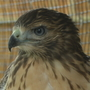 Rescuers care for young hawk that was burned