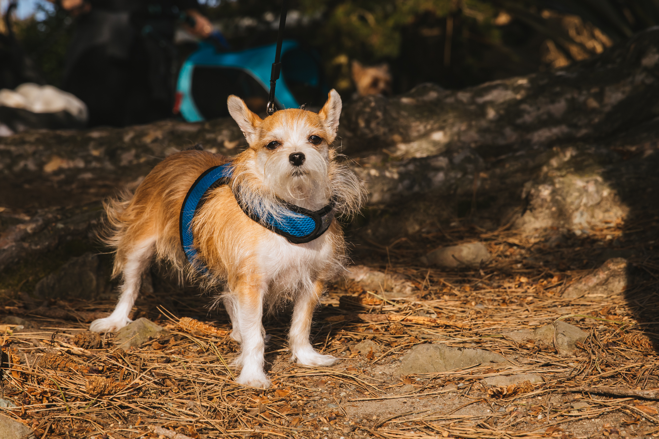 "Sweet little Ana Lewis is a 3-year-old Chihuahua-Yorkie who LOVES to ride in the car, go on shopping trips, and is inseparable from her dad. She doesn't really like other doggos, much prefers her humans.{&nbsp;}<a  href=""http://seattlerefined.com/ruffined"" target=""_blank"" title=""http://seattlerefined.com/ruffined"">The RUFFined Spotlight</a>{&nbsp;}is a weekly profile of local pets living and loving life in the PNW. If you or someone you know has a pet you'd like featured, email us at{&nbsp;}<a  href=""mailto:hello@seattlerefined.com"" target=""_blank"" title=""mailto:hello@seattlerefined.com"">hello@seattlerefined.com</a>, and your furbaby could be the next spotlighted! (Image: Sunita Martini / Seattle Refined)"