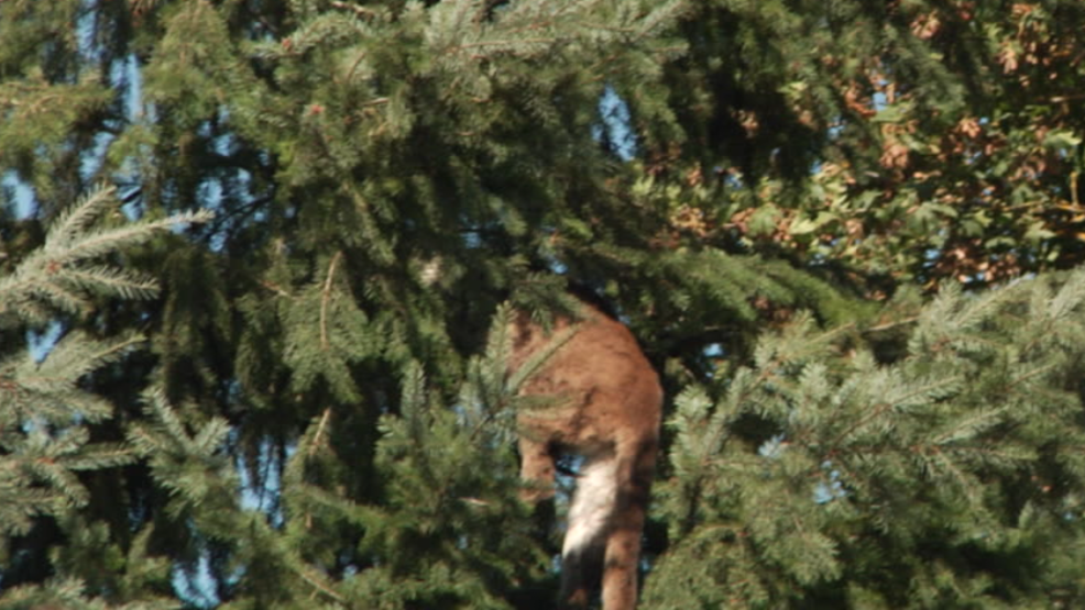 Theres A Cougar In The Yard Police Kill Big Cat Seen Stalking Kids In Backyard Pool