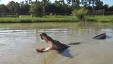Hundreds of local gators draw crowds
