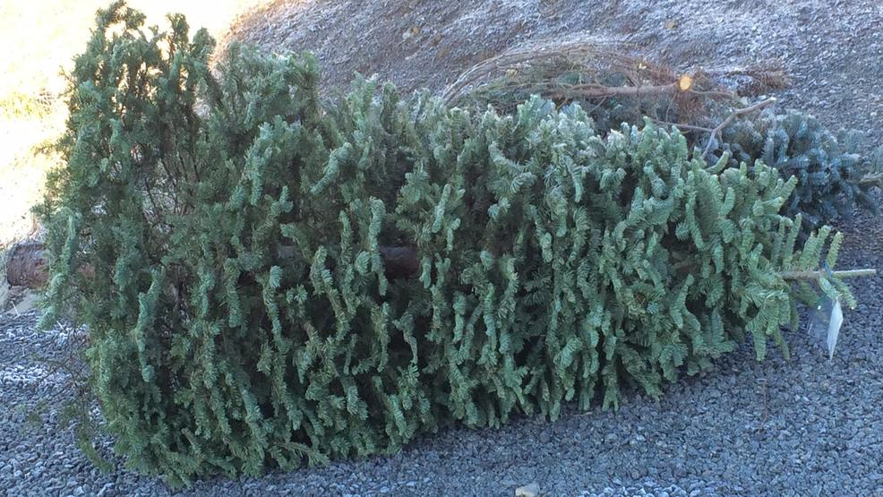 Recycling your Christmas tree is now easier than ever - Recycling Your Christmas Tree Is Now Easier Than Ever KOMO