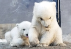 Polar bear cubs.jpg