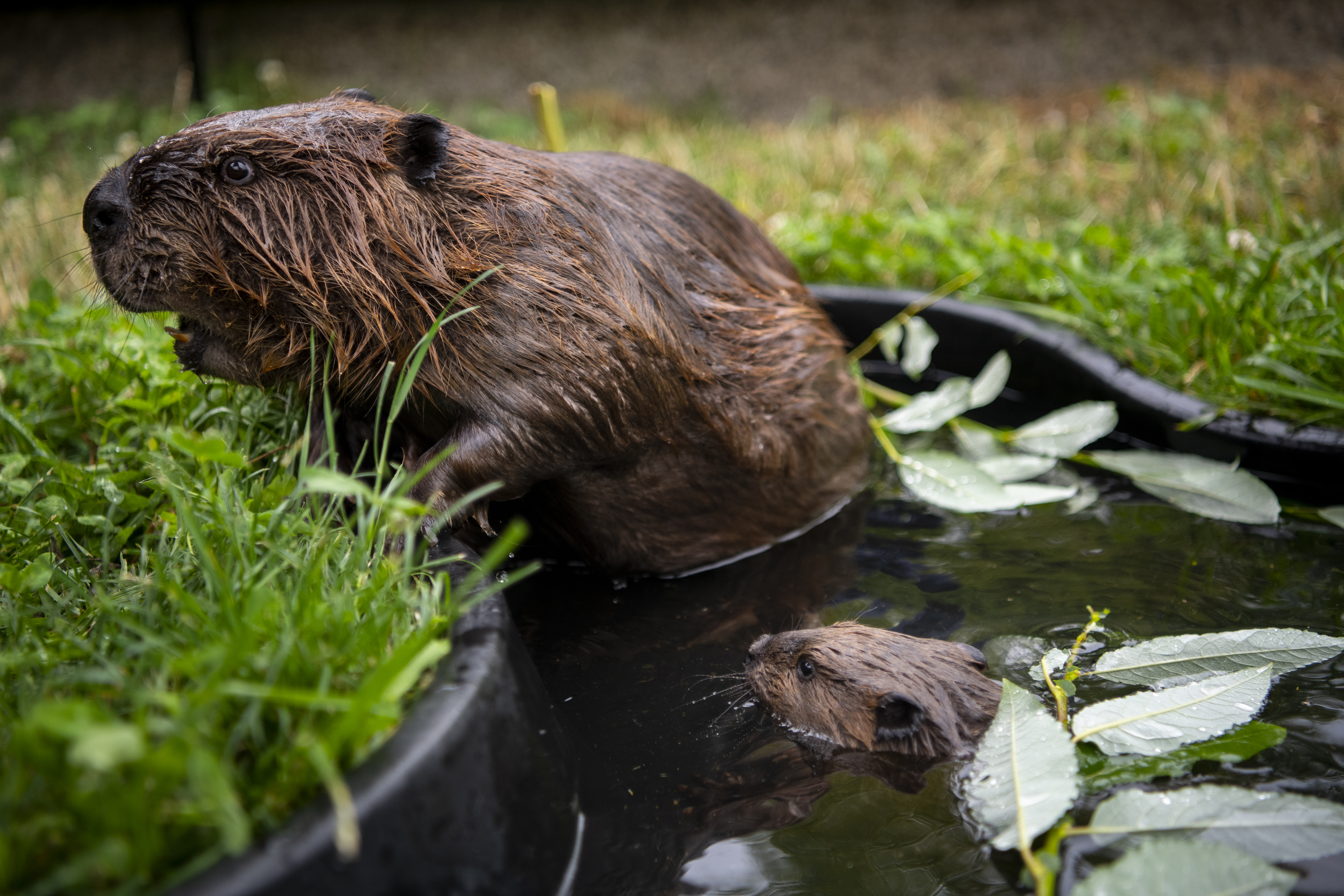 "OK, we didn't mean to be so forceful in our headline - but COME ON! Look at this little nugget named Butternut, a baby beaver who is making her public debut at the Point Defiance Zoo & Aquarium in Tacoma, WA this weekend Aug. 10 & 11. Check out some behind-the-scenes photos of Butternut and her mom Nutmeg and dad Walnut. More on visiting the tiny beaver at{&nbsp;}<a  href=""https://www.pdza.org/"" target=""_blank"" title=""https://www.pdza.org/"">www.pdza.org</a>.{&nbsp;} (Photo: Katie Cotterill)"