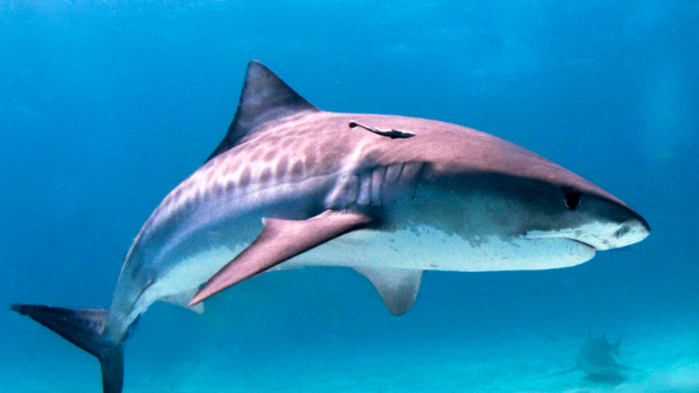 experts endorse man s trick for determining if a shark is in the